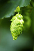 Hops Closeup