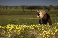 Dominanter Kalahari Loewe auf Duene