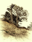 Vintage photo of pine on a precipice