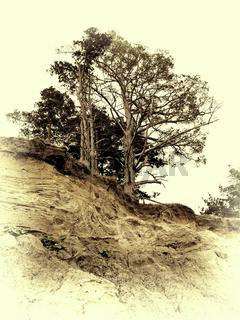 Vintage photo of pine on a precipice