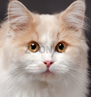 cat on a grey background