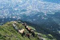 Schafherde auf Berg mit Stadt im Hintergrund