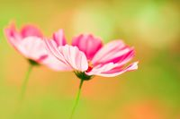 Pink cosmos flower on creamy background