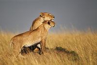 Löwin mit Jungtier, Masai Mara, Kenia