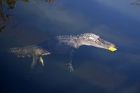 Schwimmender Mississippi-Alligator (Alligator mississippiensis) im Nationalpark Everglades in Florida