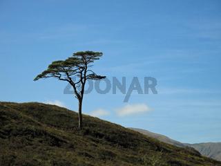 Schottische Kiefer im Glen Affric, Schottland