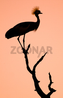 Crowned Crane Bird Silhouette