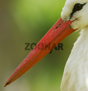 A close-up of a stork