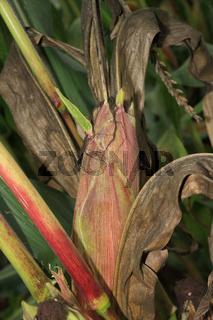 Mais mit austreibenden Blaettern