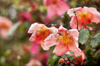Pink 'Rose'
