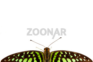Graphium isolated on white background
