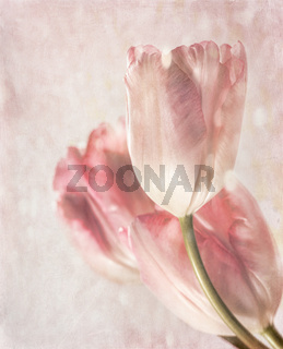 Closeup of tulips with vintage feeling