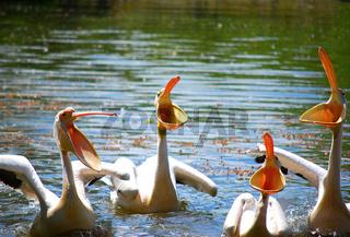 pelicans with open beaks