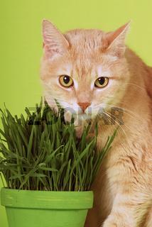 Hauskatze frißt Katzengras