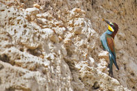 Bienenfresser (Merops apiaster) 