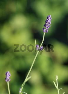 Lavendel, Blüte