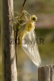 Geschlüpfte Libellelarve