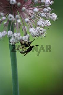 Insekten an Lauchblüte