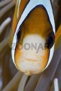 Clarks-Anemonenfisch