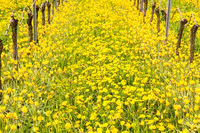 Close up of the yellow turkish tulip by old vine in vineyard