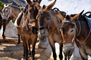 Maultiere in Santorin - Griechenland