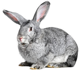 Grey house rabbit on white background