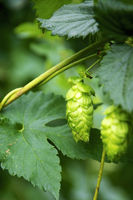 Hops Umbels