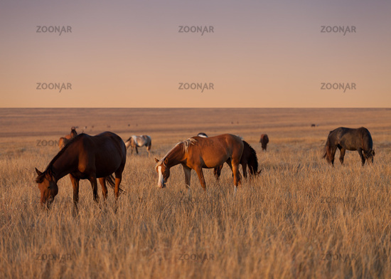 Herd of horses grazing in evening pasture