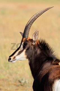 Sable antelope portrait