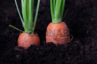 zwei Karotten in einem Beet