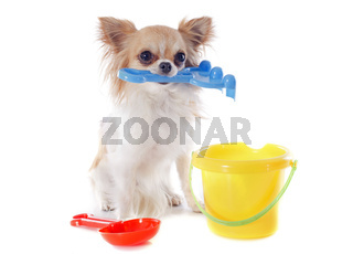 chihuahua in holidays