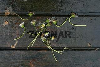 Regen, nasse Gänseblümchen auf Holzdiele
