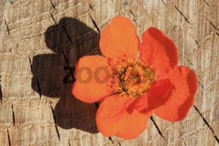 orangfarbene Nelkenwurzblüte auf Holz