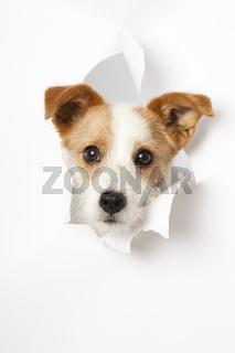 Hund schaut durch ein Loch in der Wand