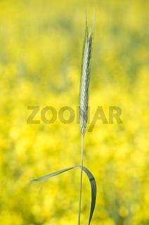 Single Ear of a Rye