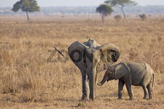 Wild Elephant