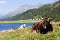 Kühe am Silsersee