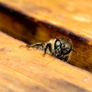 Biene auf Wabenrahmen