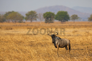 Wildebeest in Mikumi