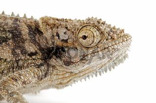 Dwarf chameleon