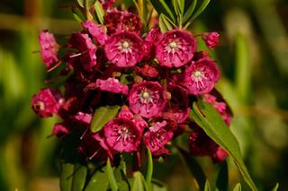 Kalmia angustifolia - Lorbeerröschen