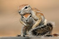 Playing ground squirrels