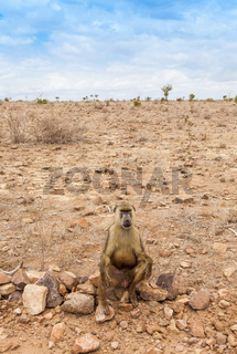 Baboon in Kenya