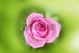 Scarlet rose in an environment of a blurred green background
