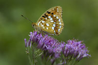 Kaisermantel oder Silberstrich (Argynnis paphia) Nationalpark Kalkalpen, Obersterreich, sterreich - Silverwashed Fritillary (Argynnis paphia) nationalpark lime alps, Upperaustria, Austria