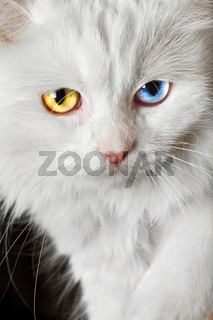 varicoloured eyes white cat