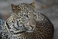 Leopard, South Luangwa, Sambia
