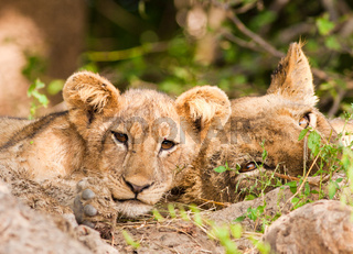 Cute Lion Cub and Mother
