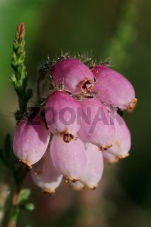 Glockenheide im Hochmoor - Erica tetralix