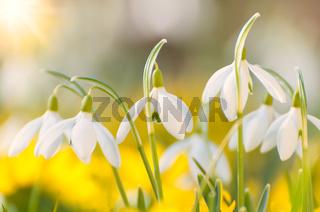Blühende Schneeglöckchen und Winterlinge